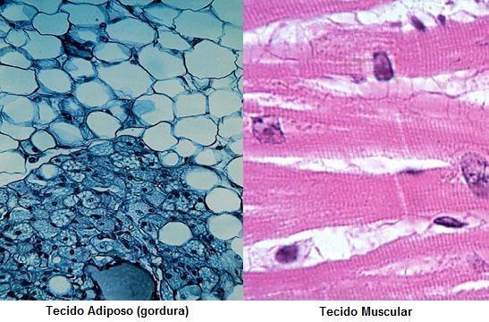 tecidosadiposoemuscular